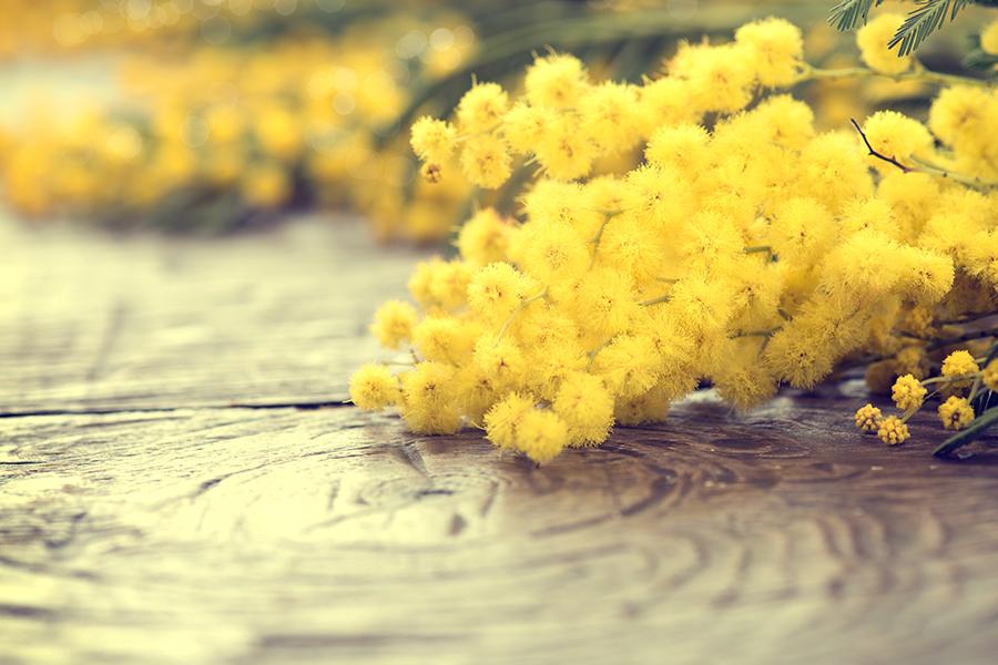 mimose festa della donna 8 marzo